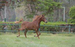 الثلاثاء القادم مزادا علنيا بمحطة الزهراء للخيول العربية لبيع فائض نتاج الخيول