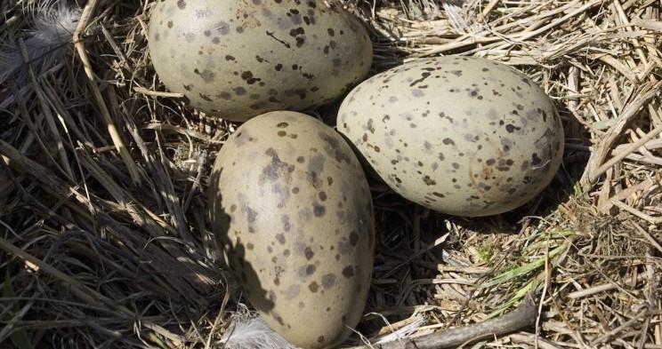 دراسة: صغار طيور النورس تستطيع التواصل مع بعضها عن طريق الاهتزاز قبل فقس البيض